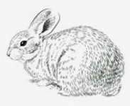 white_rabbit